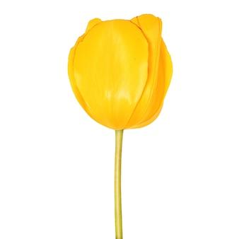Vista de close up da cabeça de flor da tulipa amarela isolada no fundo branco