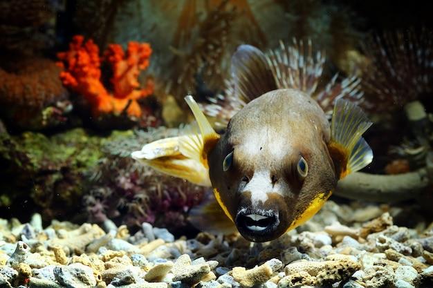 Vista de close-up de baiacu, peixes marinhos subaquáticos