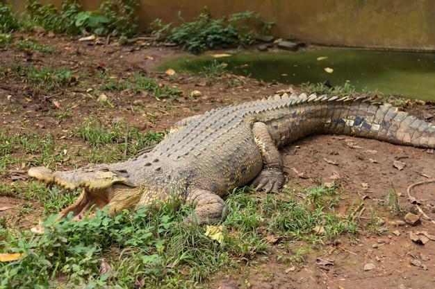 Vista de crocodilo com boca aberta
