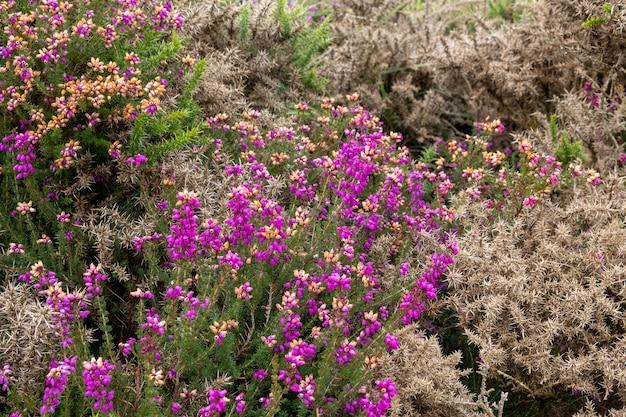 Vista de heather florescendo na costa de devon, perto de combe martin