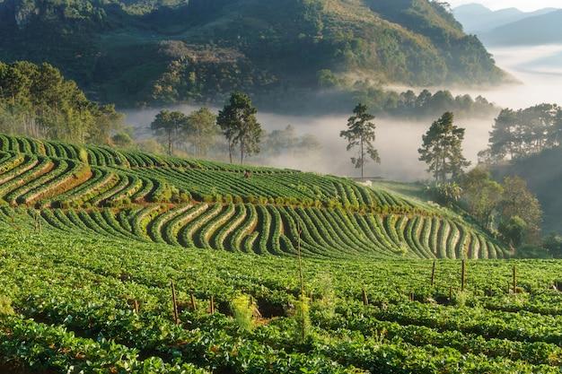 Vista, de, manhã, névoa, em, doi, angkhang, montanha, chiang mai, tailandia