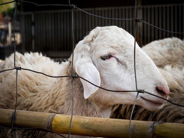 Vista de ovelhas no curral