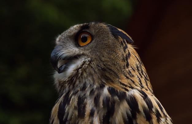 Vista de perfil da coruja-real em estado selvagem