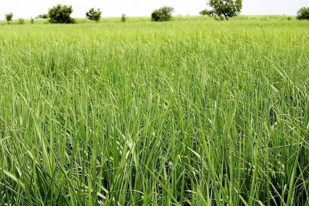 Vista de perto da fazenda de cana-de-açúcar.