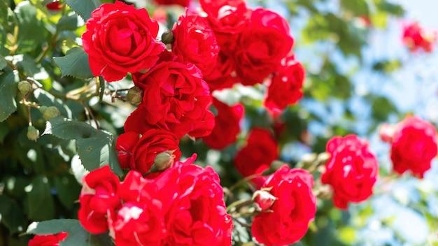 Vista de perto de um arbusto de rosas vermelhas