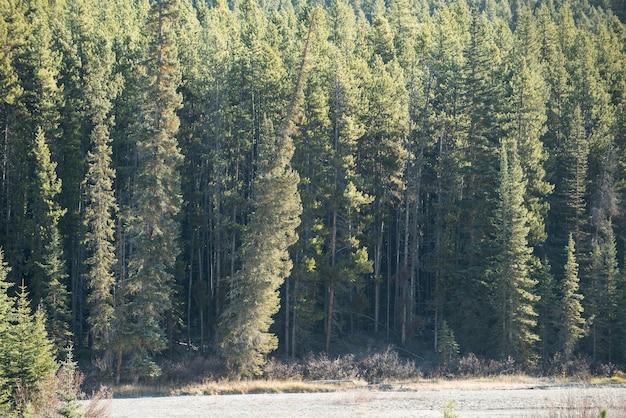Vista de pinheiros