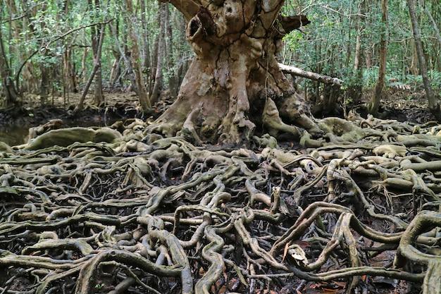 Vista de tirar o fôlego das incríveis raízes das árvores na floresta de mangue, província de trat, tailândia