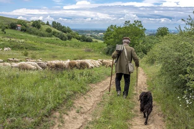 Vista de trás da paisagem de um velho pastor e um cachorro caminhando em direção a suas ovelhas em um campo