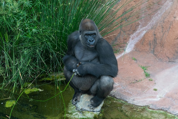 Vista de um gorila sentado em uma pedra no zoológico