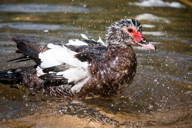 Vista de um pato tomando banho em um rio.