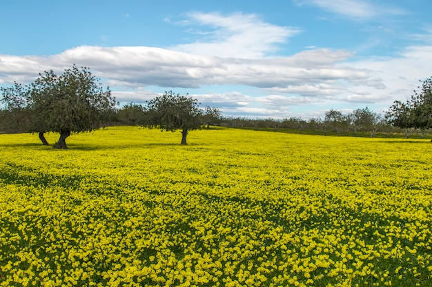Vista de um pomar da árvore de alfarroba em um campo de flores amarelas no campo de portugal.