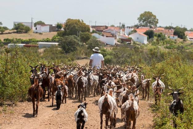 Vista de um rebanho das cabras em um pasto no campo.