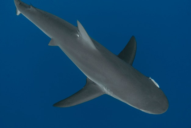 Vista de um tubarão nadando debaixo d'água