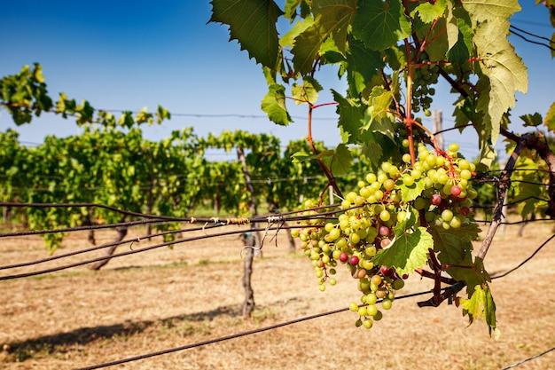 Vista de um vinhedo italiano em trieste karst na temporada de verão