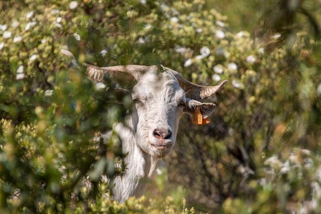 Vista de uma cabra branca em um pasto no campo.