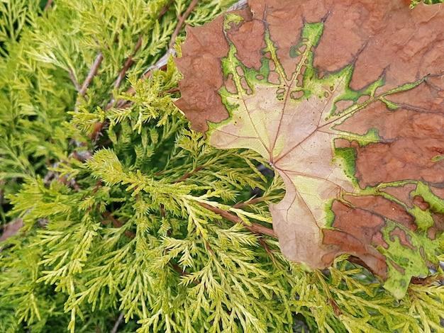 Vista de uma folha de videira seca em um arbusto de zimbro com um belo padrão texturizado. o conceito de plantas, jardinagem, outono