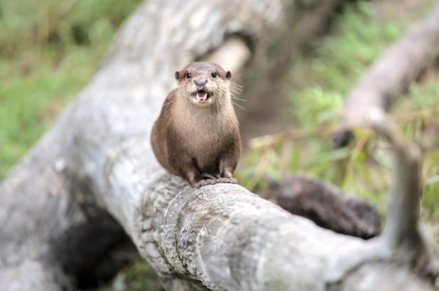 Vista de uma lontra de rio norte-americana sentada em um tronco de árvore e gritando para a câmera