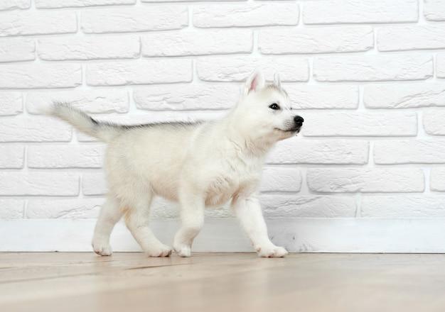Vista do cachorrinho husky, de olhos azuis, brincando e correndo, indo embora. cão siberiano com peludo realizado, posando contra um tijolo branco. animal de estimação engraçado.