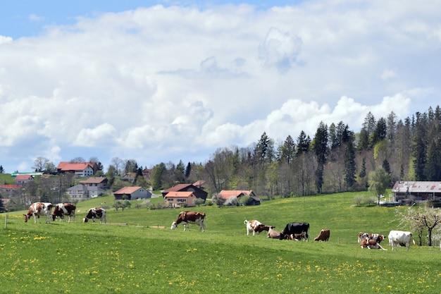 Vista do campo com casas de fazenda e vacas pastando em prados verdes