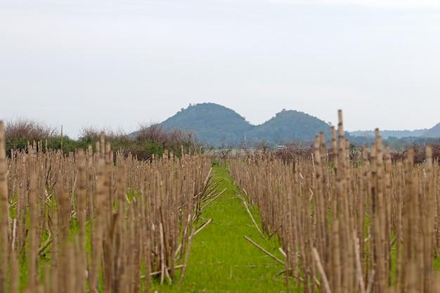 Vista do campo de cana e fundo de montanha