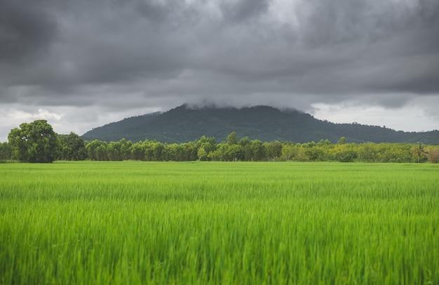Vista do campo de cultivo do prado verde do arroz e da montanha