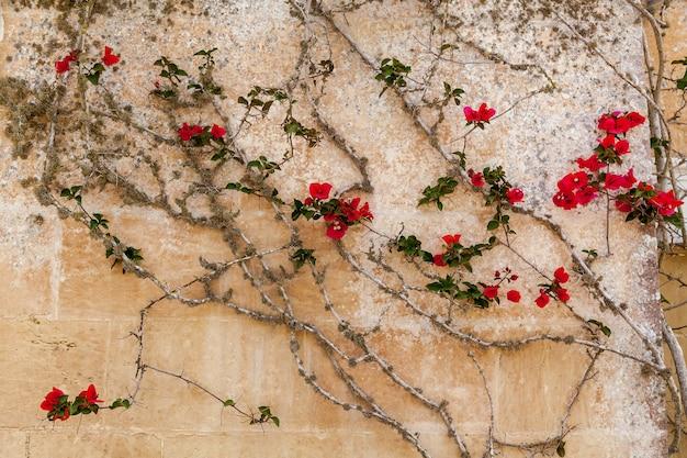 Vista do close-up de pequenas flores vermelhas na velha parede do edifício com rachaduras.