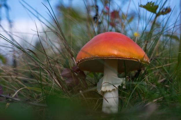 Vista do cogumelo amanita vermelho entre a grama