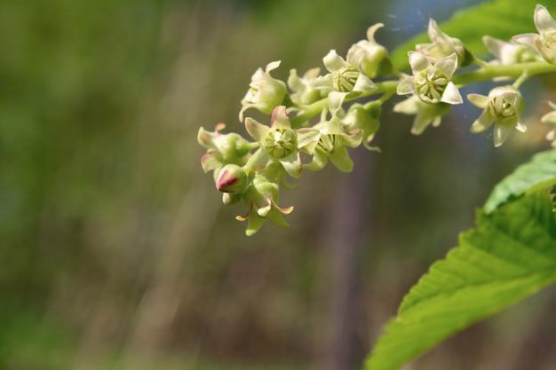 Vista do ramo de floração de groselha preta.