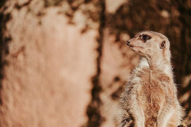 Vista do suricato em vigia no zo