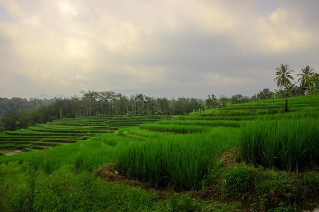 Vista dos campos de arroz nas montanhas no norte de bengkulu, na indonésia