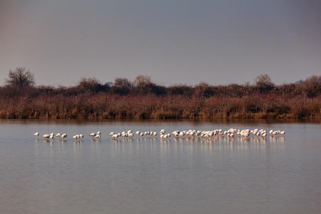 Vista dos flamingos na lagoa marano, itália