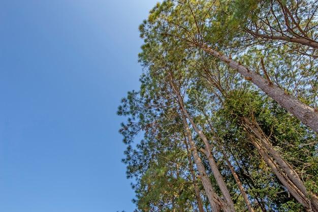 Vista em perspectiva da floresta de pinheiros