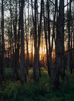 Vista fascinante das árvores altas e da grama na floresta durante o pôr do sol