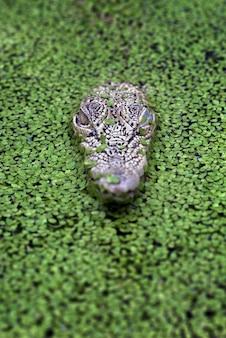 Vista frontal de crocodilos-crocodilos de água salgada entre algas aquáticas