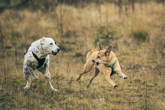Vista frontal de dois cães correndo na direção da câmera