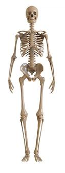 Vista frontal de esqueleto