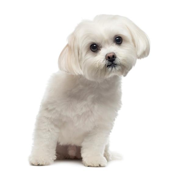 Vista frontal de um cão maltês sentado, olhando para a câmera, isolado no branco