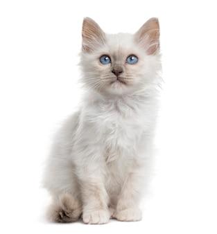 Vista frontal de um gatinho birman sentado isolado no branco