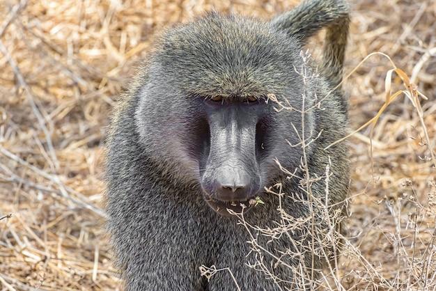 Vista frontal de um macaco africano no campo