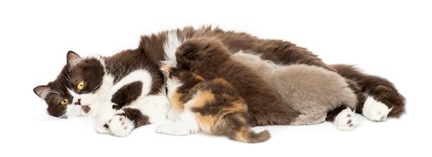 Vista frontal do british longhair deitado, gatinhos amamentando, isolados