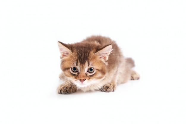 Vista frontal do gatinho em pose de caça.