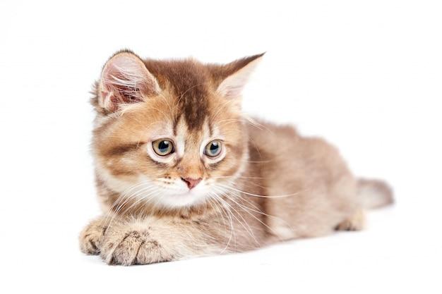 Vista frontal do gatinho mentiroso isolado no branco.