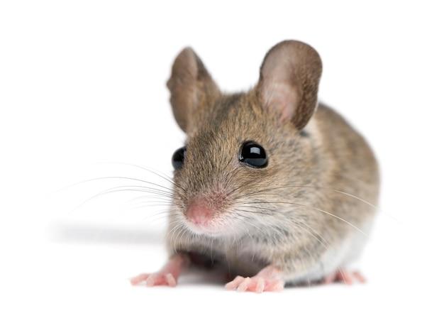 Vista frontal do mouse de madeira