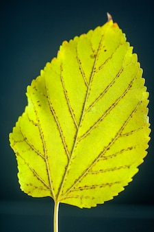 Vista frontal folha amarela fundo preto