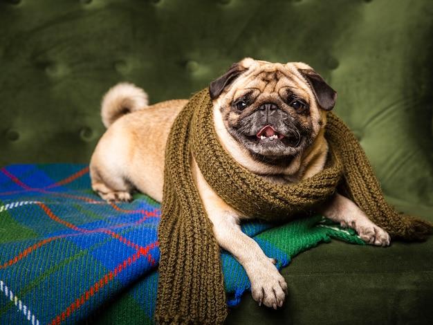Vista frontal lindo cão usando cachecol