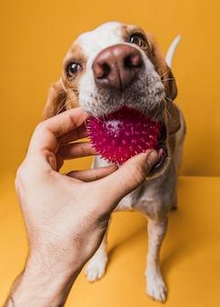 Vista frontal mão pegando uma bola da boca do cachorro
