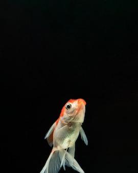 Vista frontal peixe betta com espaço de cópia