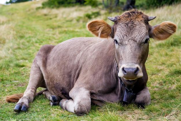 Vista idílica da vaca marrom engraçada agradável que coloca na grama fresca do campo verde do pasto no dia ensolarado brilhante, olhando in camera. céu azul, nuvens brancas. agricultura e agricultura.