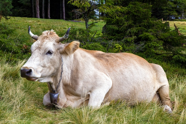 Vista idílica de duas vacas marrons que pastam na grama fresca do campo verde do pasto no dia ensolarado brilhante. agricultura e agricultura.