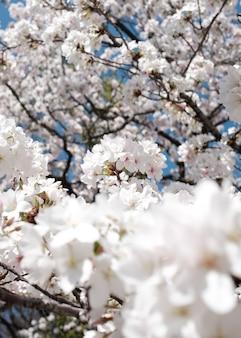 Vista incrível de uma linda cerejeira em flor